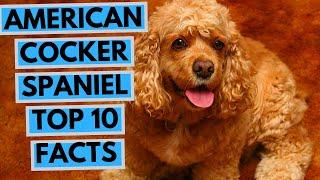 American Cocker Spaniel  TOP 10 Interesting Facts