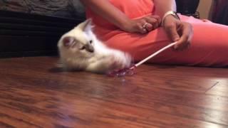 Ragdoll kitten - Котенок породы Рэгдолл (тряпичная кукла)