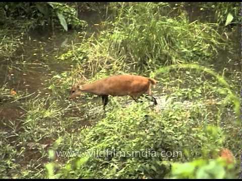 Sambar deer grazing in Kaziranga National Park