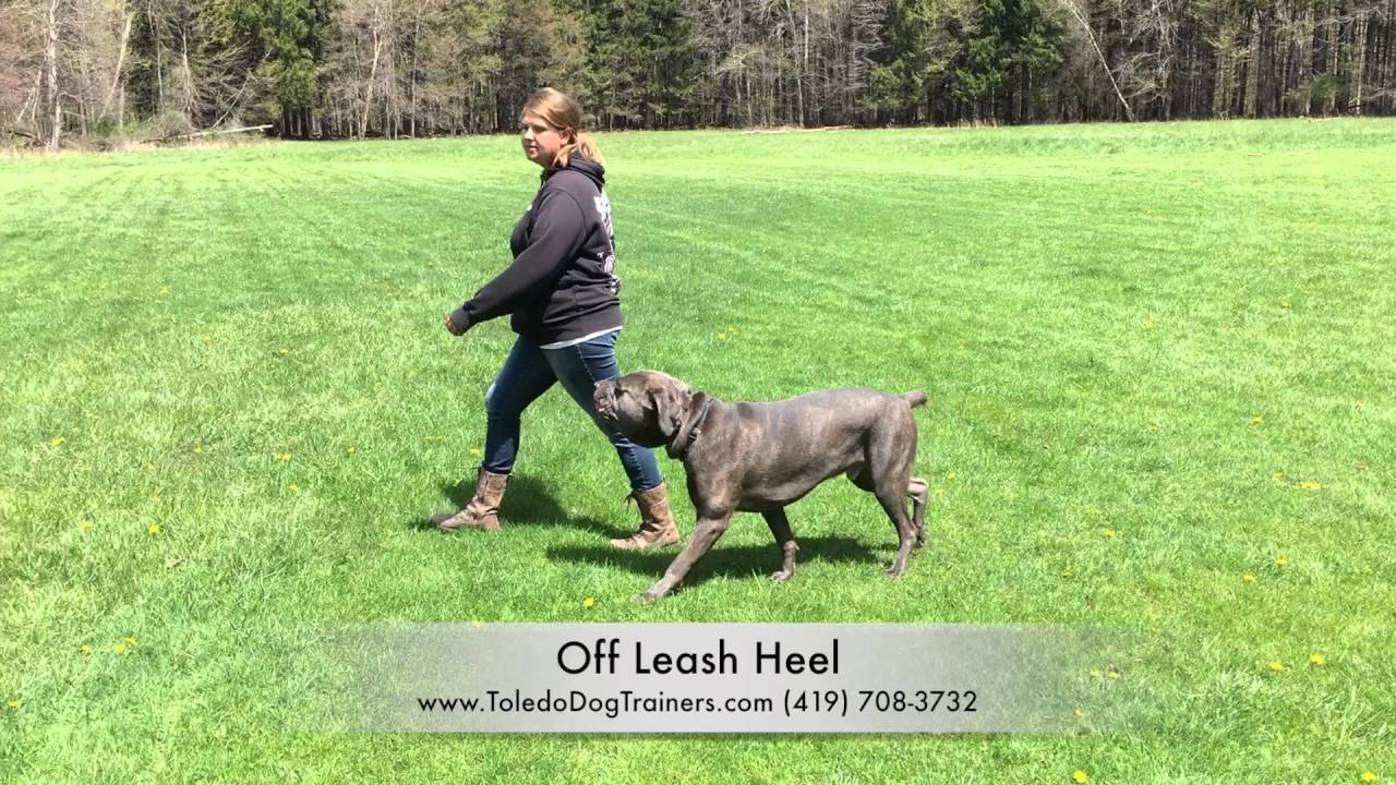 Dog Training: 1 5 Yr Old Reactive Cane Corso, Gus- Before and After Board  and Train