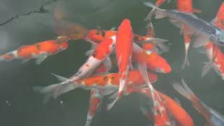 A visit to Japanese Water Gardens! A long-lasting koi dealer in the UK