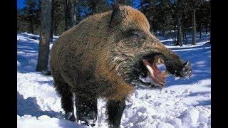 Охота на крупного кабана секача Омская область смотреть