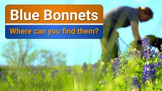 Where do you find Blue Bonnets in Texas?