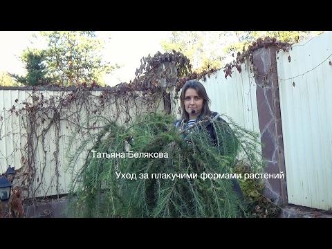 Ива козья пендула — посадка и уход за деревом
