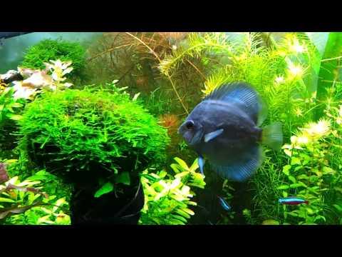Diskus im 240l aquarium discus planted tank for Diskus aquarium