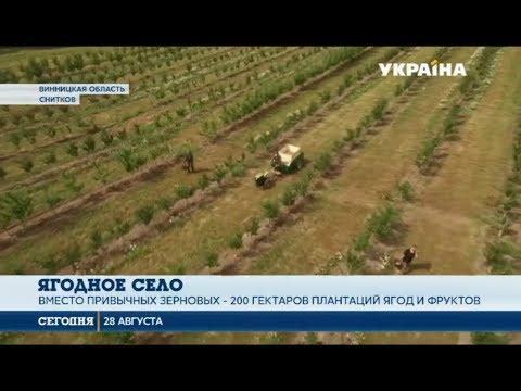 Село мечты: Село в Винницкой области получило второе дыхание благодаря ягодному бизнесу