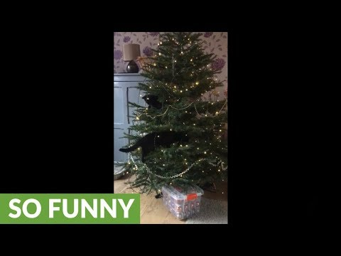 Cats climb & play with Christmas tree in typical cat fashion