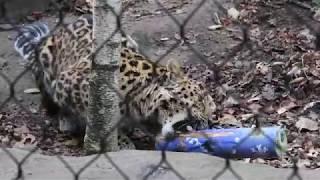 Amur leopard VS enrichment