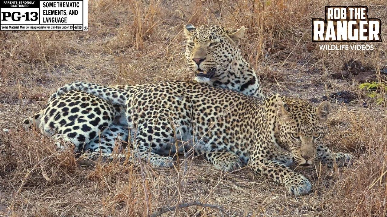 WILDlife: Leopard Reproduction Techniques
