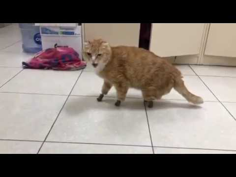 Кот с протезами лапок