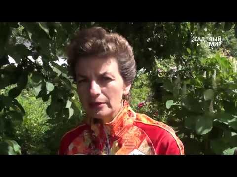 """Как выкапывать и хранить тюльпаны.Сайт """"Садовый мир"""""""