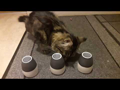 Daisy 10 month old maine coon cat testing I.Q. testing