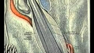 Анатомия человека: Строение дермы