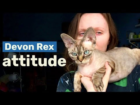 Talkative attention seeker | My life with Devon Rex