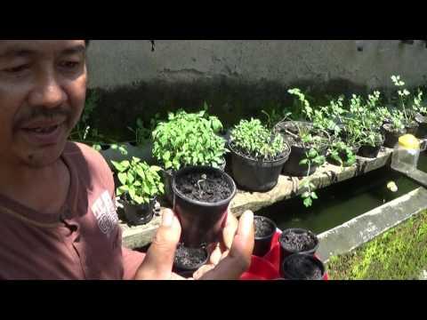 Tips Cara Menyemai Cabe Supaya Tumbuh Subur Tanpa Pupuk dan Pestisida Kimia Buatan atau Sintetis