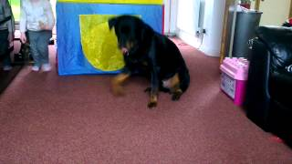 Rottweiler Doing Funny Tricks Fail