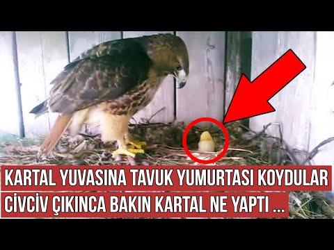 Çiftçi Kartal Yuvasına Tavuk Yumurtası Koydu, Kartal Çıkan Civcivi Görünce Bakın Ne Yaptı