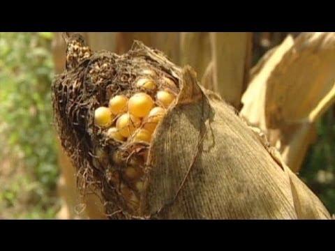 Los OGM en el punto de mira tras un polémico estudio francés