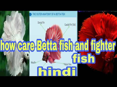 betta fish care - YouTube
