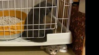 生後4ヶ月の先住猫と2ヶ月の新入り子猫の戦い(2日目〜)