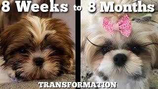 Watch Our Puppy Grow Shih Tzu Transformation