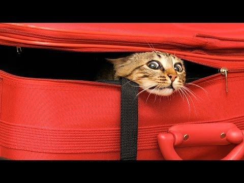 How to Travel with Your Cat   Cat Care