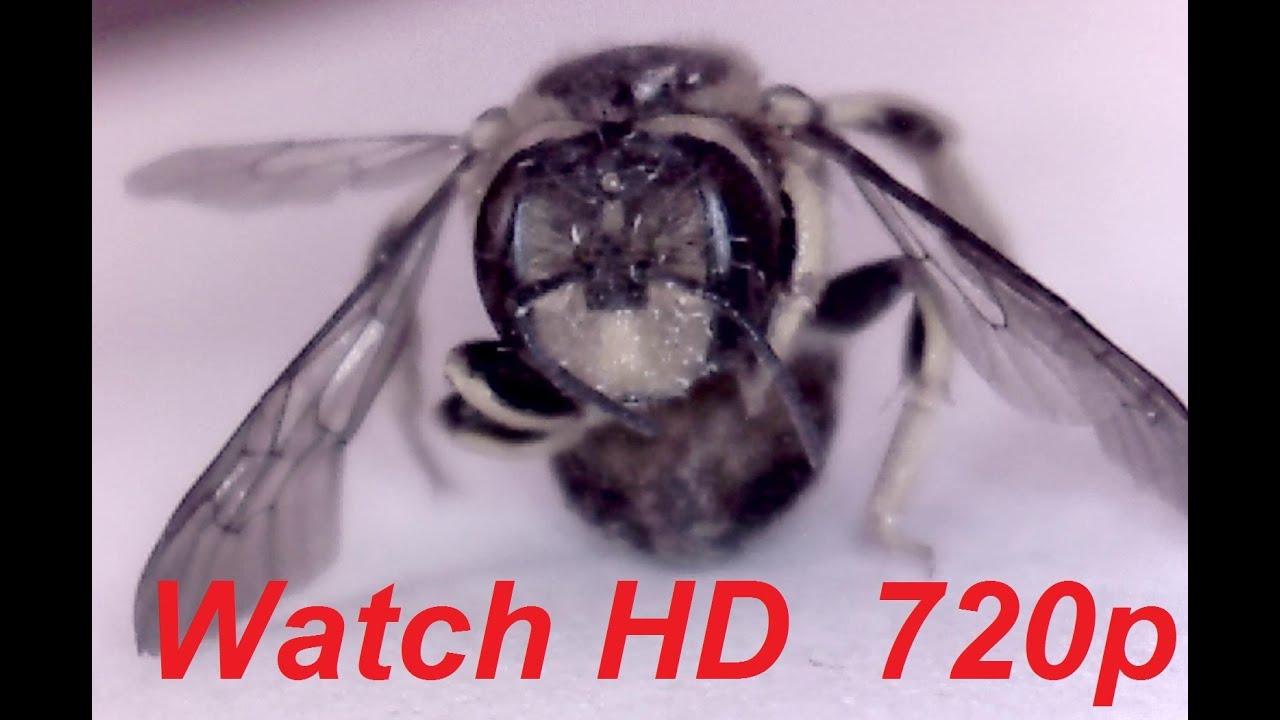 Honey Bee (Close-Up Anatomy) - YouTube