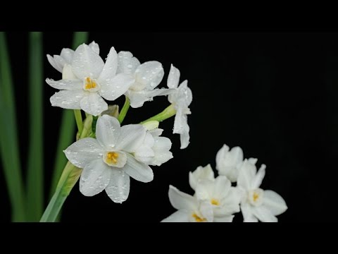 Narcissus papyraceus / Weihnachts-Narzisse / Paperwhite