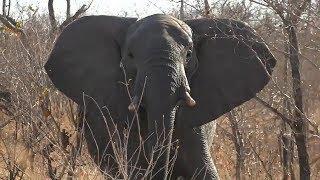 SafariLive Aug 23- Young elephant bull on bushwalk!