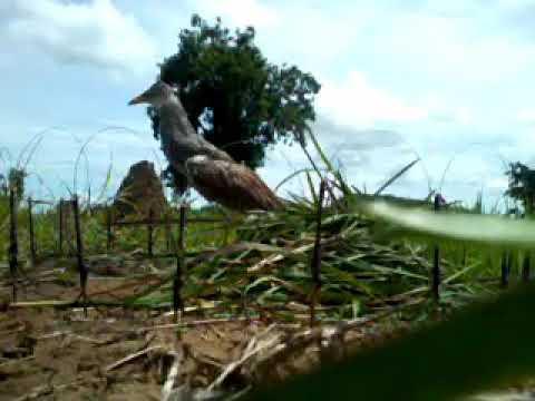 mikat burung ayam ayam sawah