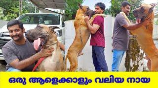 ഭീകര വലുപ്പം ഉള്ള നായ | Great Dane dog breed