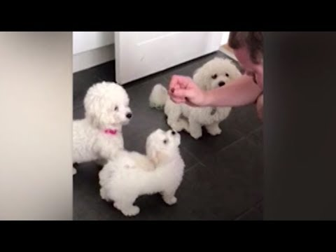 Mommy dog lends her paw to puppy in training