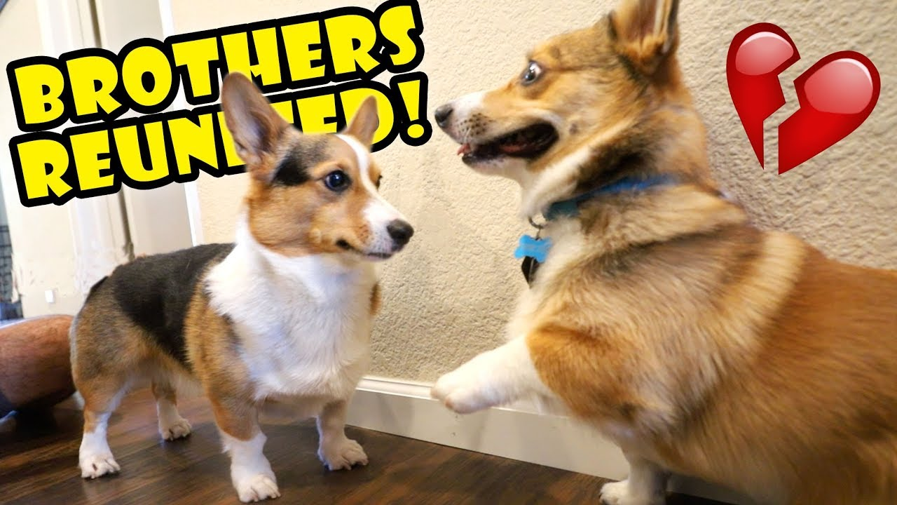corgi-dog-reunited-w-his-brother-surprise-life-after-college-ep-605