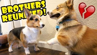 Corgi Dog Reunited w/ His Brother Surprise || Life After College: Ep. 605
