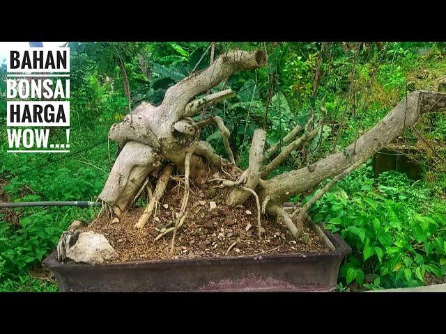 Belajar bonsai serut bahan besar