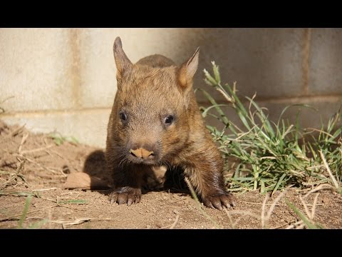 Talk, pictures of hairy nosed wombat sorry