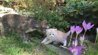 Первые экстремальные прогулки котенка Рыжули с заботливой кошкой мамой