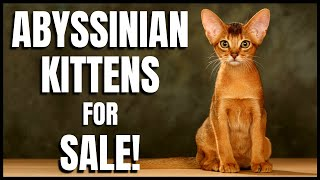 Abyssinian Kittens for Sale!