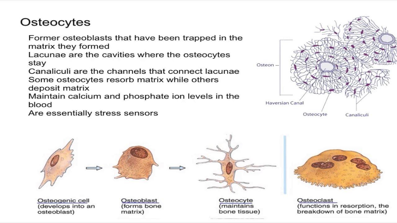 Osteocytes In Bone