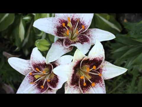 Королевские цветы лилии