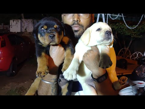 Rottweiler VS Labrador / who is Best for 1st time dog owner / Doggyz World