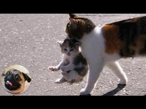 Funny pets | Mama Cat Carrying Baby Kittens Videos Compilation 2017
