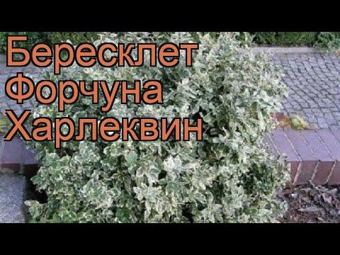 Бересклет форчуна Харлеквин (euonymus fortunei) 🌿 обзор: как сажать, саженцы бересклета Харлеквин