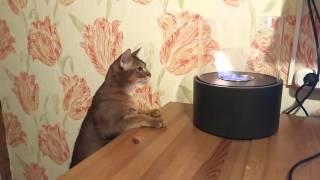 Кто сказал что кошки боятся огня?