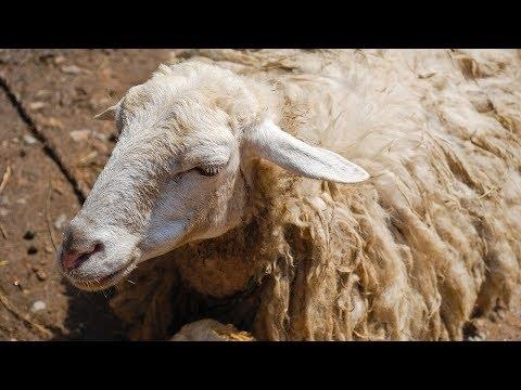 В Армении бесплатно раздают животных