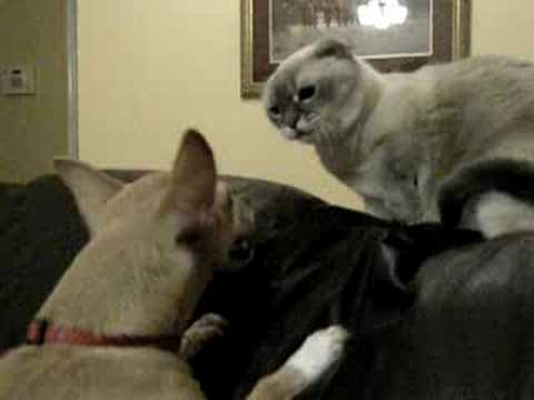 Munchkin cat fights Chihuahua dog surprise attack