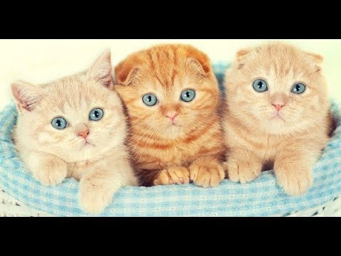 Yavru Scottish Fold Kedilerin Oyunlari Scottish Fold Munchkin