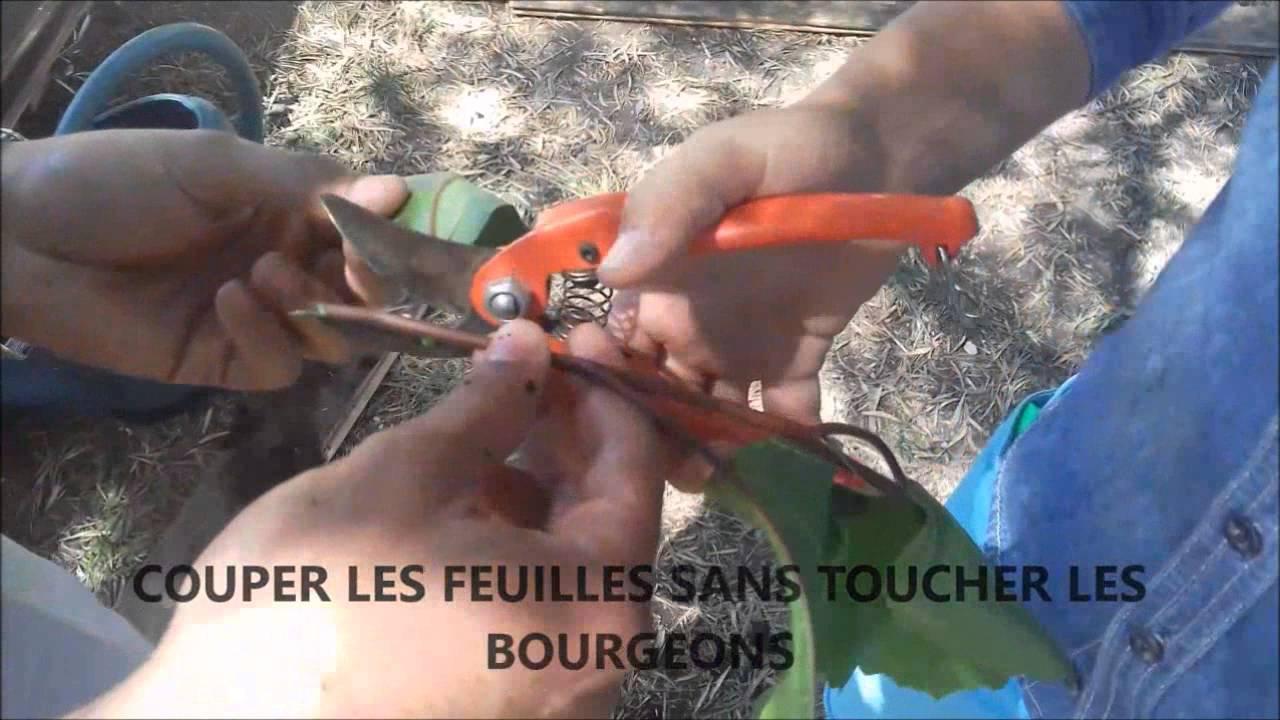Le bouturage de l\'hibiscus par les 1er STAV du lycée Vert d\'Azur ...