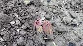 Заказ на пионы до 14 июня ( бронирование 50% на карту сб) период цветения пиона канзас средний, приходится на май-июнь, очень.
