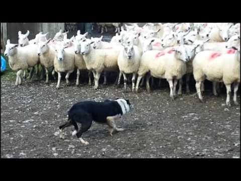 Templemoyle Roy Sheepdog for sale October 2016 Sion Jones
